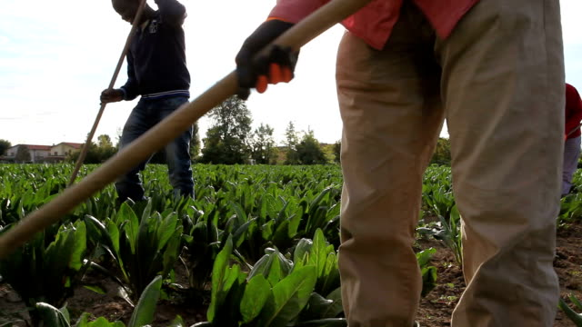 growing red chicory (radicchio rosso), farmers removing weeds from a field of chicory in august, italy, treviso - jäthacke stock-videos und b-roll-filmmaterial
