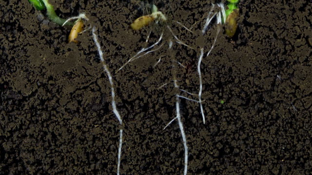 growing roots of melon seeds - soil stock videos & royalty-free footage
