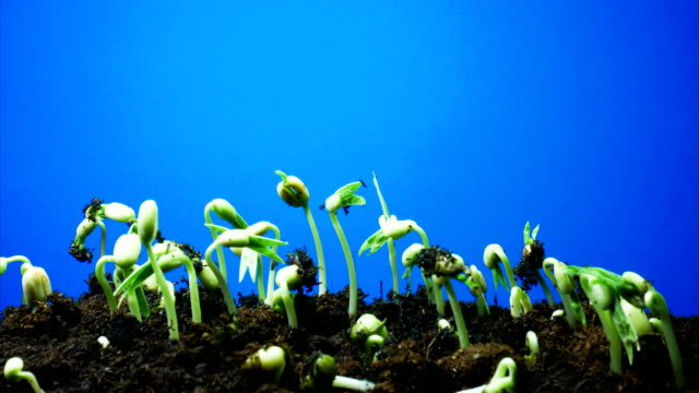growing seed time lapse blue screen background dci 4k - germinating stock videos & royalty-free footage