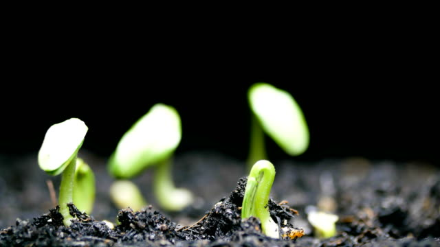 vídeos de stock e filmes b-roll de growing seed time lapse close-up - semente