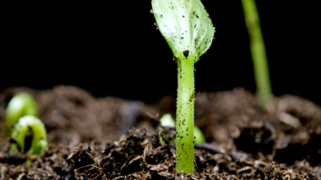 growing seed time lapse - plant stem stock videos & royalty-free footage