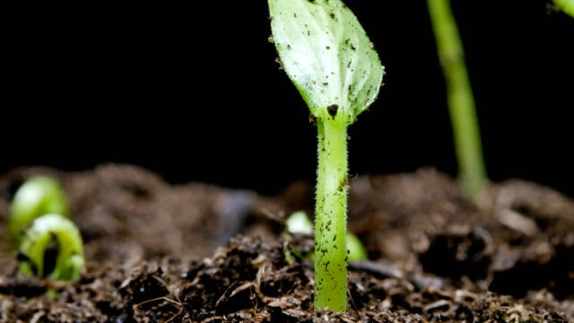 growing seed time lapse.germinating seedling - germinating stock videos & royalty-free footage