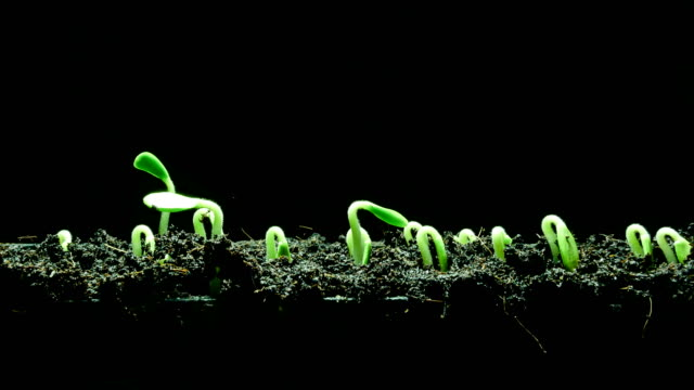 growing seedling time lapse - bud stock videos & royalty-free footage