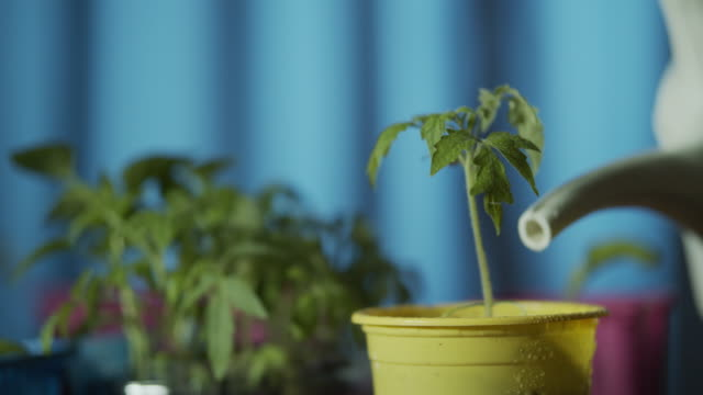 vídeos de stock e filmes b-roll de growing sprouts of tomatoes - vaso de flor
