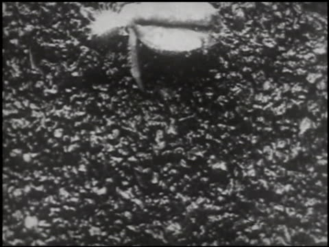 growing things: a film lesson in 'nature study' - 10 of 10 - anno 1928 video stock e b–roll