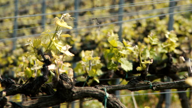 growing vineyard field in spring close up - piemonte video stock e b–roll