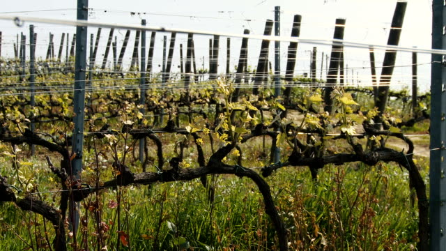 growing vineyard field in spring - viticoltura video stock e b–roll