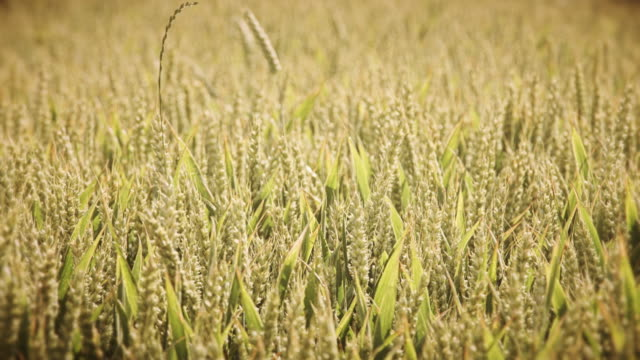 Wachsende Weizen