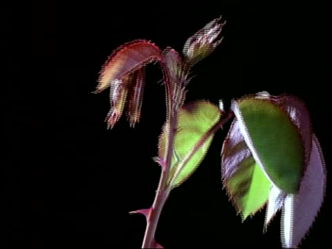 t/l growth of rose stem elongating, england - とげのある点の映像素材/bロール