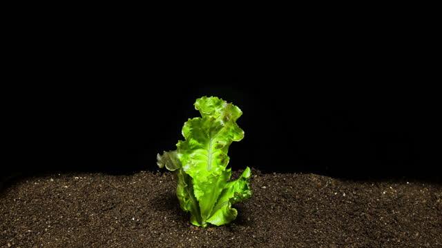 vídeos y material grabado en eventos de stock de growth process of lettuce sprout / gyeonggi-do, south korea - lechuga