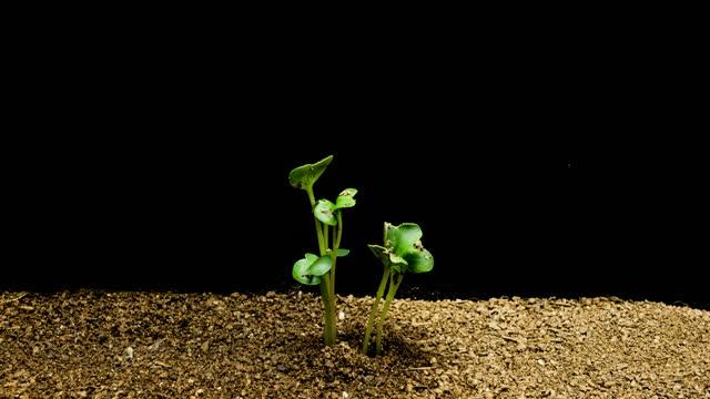 vidéos et rushes de growth process of radish sprout / gyeonggi-do, south korea - radis