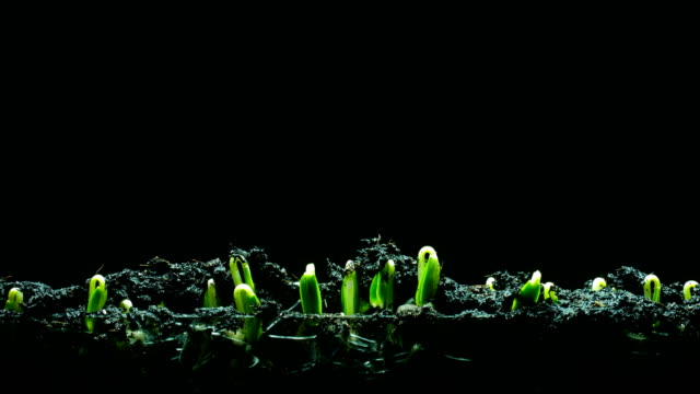 Growth Seeding time lapse black background 4k