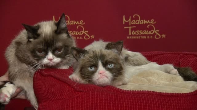 grumpy cat and its wax figure at grumpy cat visits figure at madame tussauds dc at madame tussauds on september 28 2016 in washington dc - wax stock videos & royalty-free footage