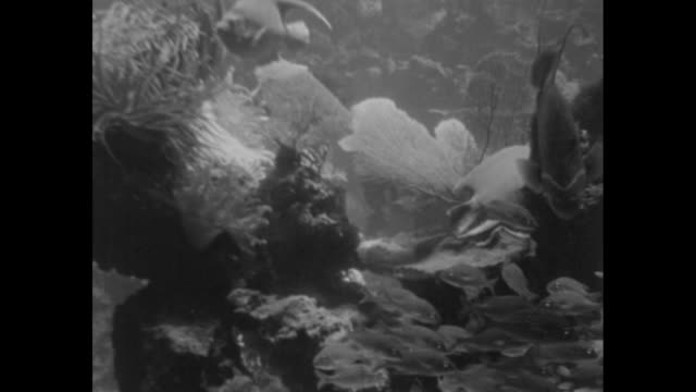 Grunt fish swim across screen with Angel fish Trigger fish / school of Blue Stripe Grunt swim around coral coral fans / Note exact year not known...