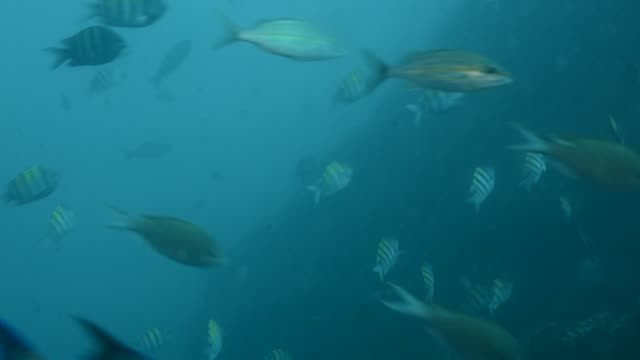 grunts and chromis. - grunzer stock-videos und b-roll-filmmaterial