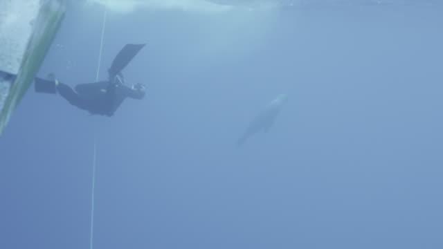 vídeos y material grabado en eventos de stock de guadalupe island, mexico. uw diver in foreground, seal in background. crate of bait. , 2012 - escafandra autónoma