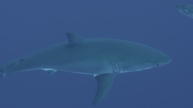 Guadalupe Island, Mexico. UW  great white shark swims with other fish, 2012