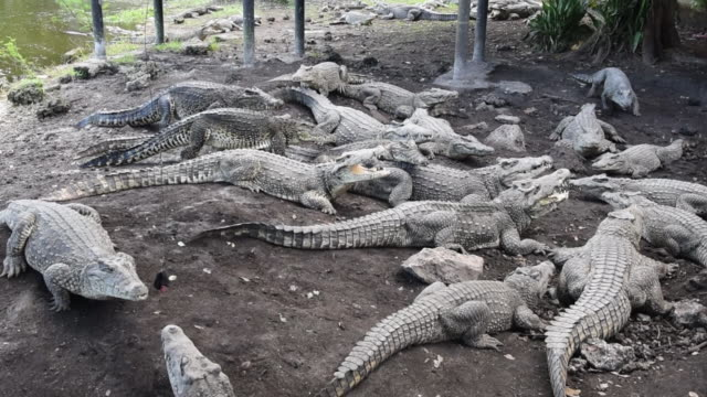 Guama Crocodile Farm, Cuba: tourist are allowed to feed the animals from time to time (controlled by the place personnel)