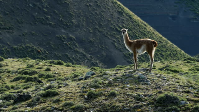 guanaco in torres del paine, national park - one animal stock videos & royalty-free footage
