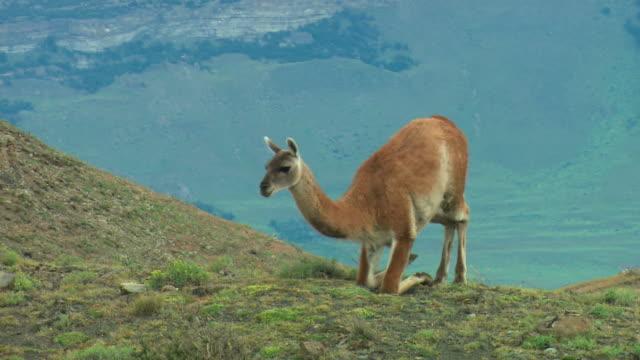 ms, guanaco (lama guanicoe) on hillside, patagonia, argentina - reclining stock videos & royalty-free footage