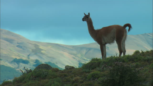 ms, pan, guanaco (lama guanicoe) on hilltop, patagonia, argentina - one animal stock videos & royalty-free footage