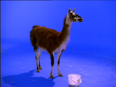 guanaco stands and chews as it feeds from bucket - bucket stock videos and b-roll footage
