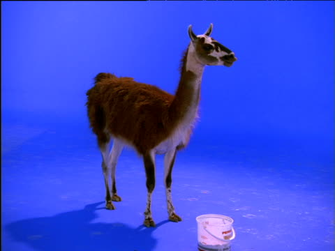 stockvideo's en b-roll-footage met guanaco stands chewing its food - bukken