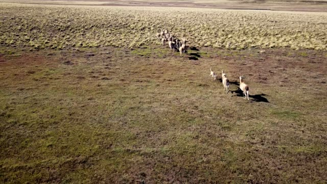 guanacos running in the argentinian countryside - argentina stock videos & royalty-free footage