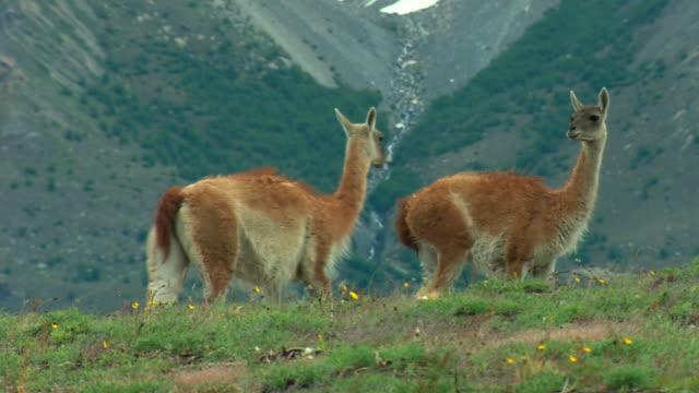 ms, pan, guanacos (lama guanicoe) walking on field, patagonia, argentina - two animals stock videos & royalty-free footage
