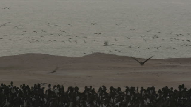 vidéos et rushes de guanay cormorants flying and in colony - colony