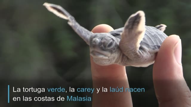 guardianes de nidos de tortugas marinas en el litoral de malasia luchan por salvar los huevos de la especie que son muy apreciados en la gastronomía... - litoral stock videos & royalty-free footage