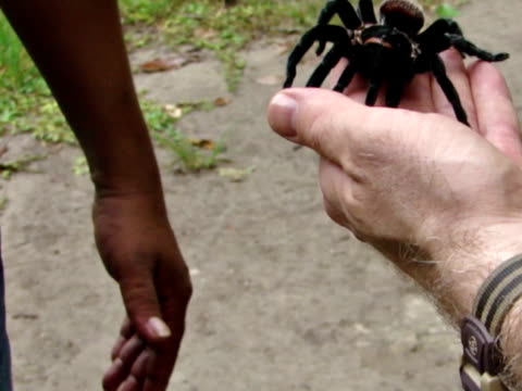 Guatemalan Tarantula in Hand