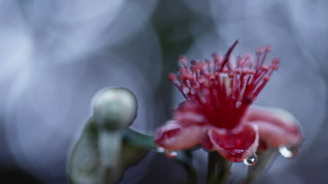 guava flower cu - staubblatt stock-videos und b-roll-filmmaterial