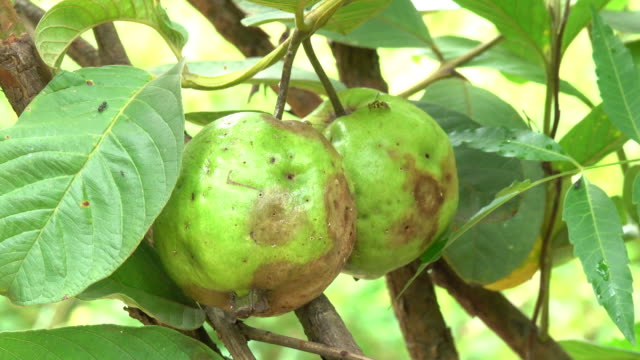 guava fruit in the garden - ugliness stock videos & royalty-free footage