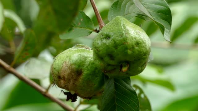 Guavas fruit growing on tree