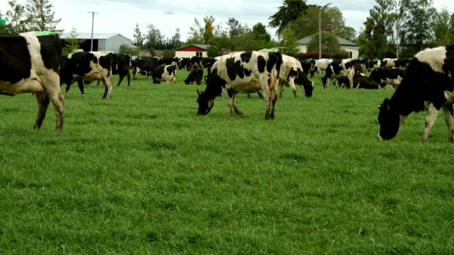 t/l guernsey cow herd grazing in field - guernsey stock videos & royalty-free footage