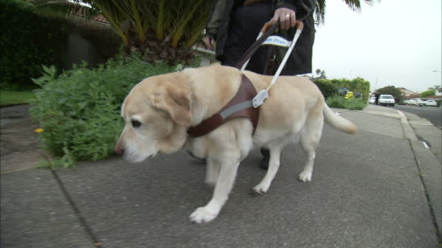 a guide dog leads a blind man along a sidewalk in a residential neighborhood. - trained dog stock videos & royalty-free footage