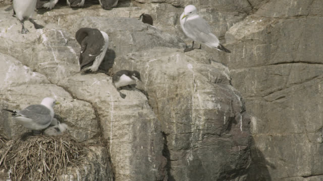 guillemot chick (uria aalge) leaps from cliffside colony, farne islands, england - northumberland coast stock videos & royalty-free footage