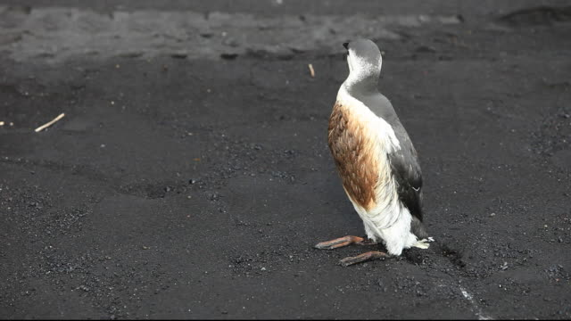 A Guillemot (Uria aalge) covered in oil on a black sand volcanic beach at Vik, on Iceland's south coast.