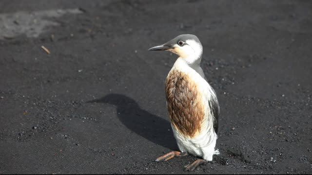 a guillemot (uria aalge) covered in oil on a black sand volcanic beach at vik, on iceland's south coast. - environmental issues stock-videos und b-roll-filmmaterial