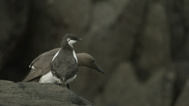 guillemot (uria aalge) encourages chick to fly from cliff, farne islands, england - northumberland coast stock videos & royalty-free footage
