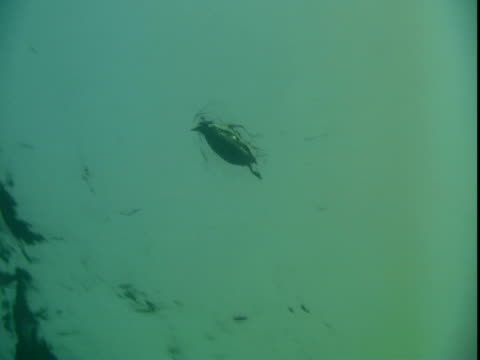 A guillemot swimming on Telegraph Cove dips its head underwater.