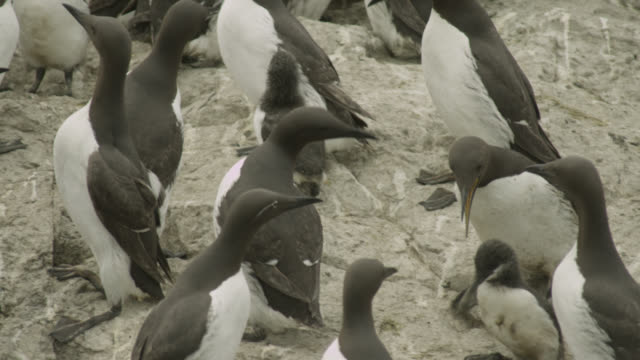 guillemots (uria aalge) bicker in cliffside colony, farne islands, england - northumberland coast stock videos & royalty-free footage