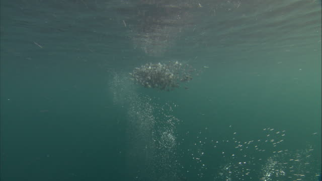 guillemots dive into a pacific herring baitball. available in hd. - school of fish stock videos & royalty-free footage