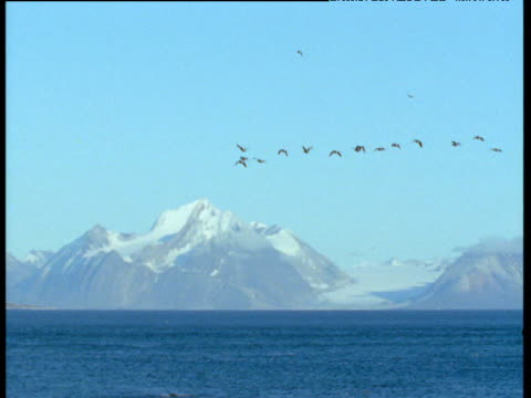 Guillemots fly against mountainous background, Svalbard