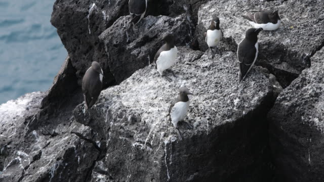 Guillemots Perching on a Rock at the Cliffs of Snæfellsnes Peninsula, Iceland
