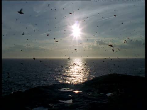 Guillemots return to colony at sunset, Funk Island, Canada