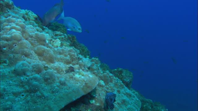 Guinea fowl Pufferfish on hard coral, Mexico