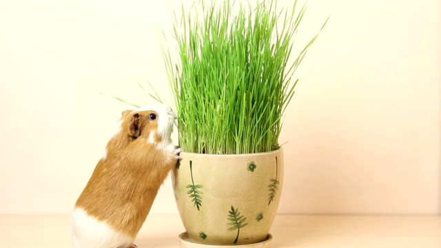 guinea pig eating grass from flowerpot - pets stock videos & royalty-free footage