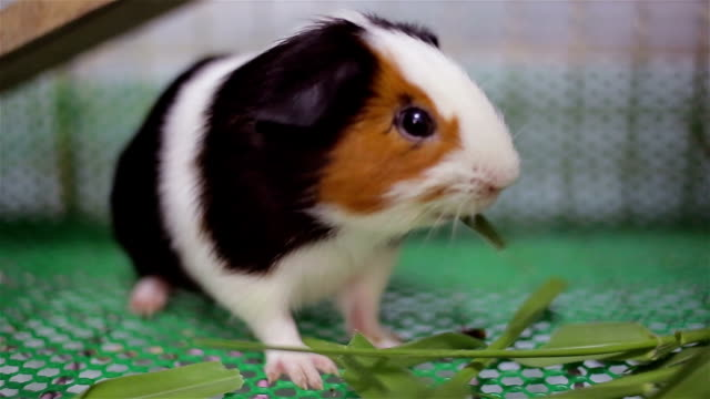 guinea pig. - roditore video stock e b–roll